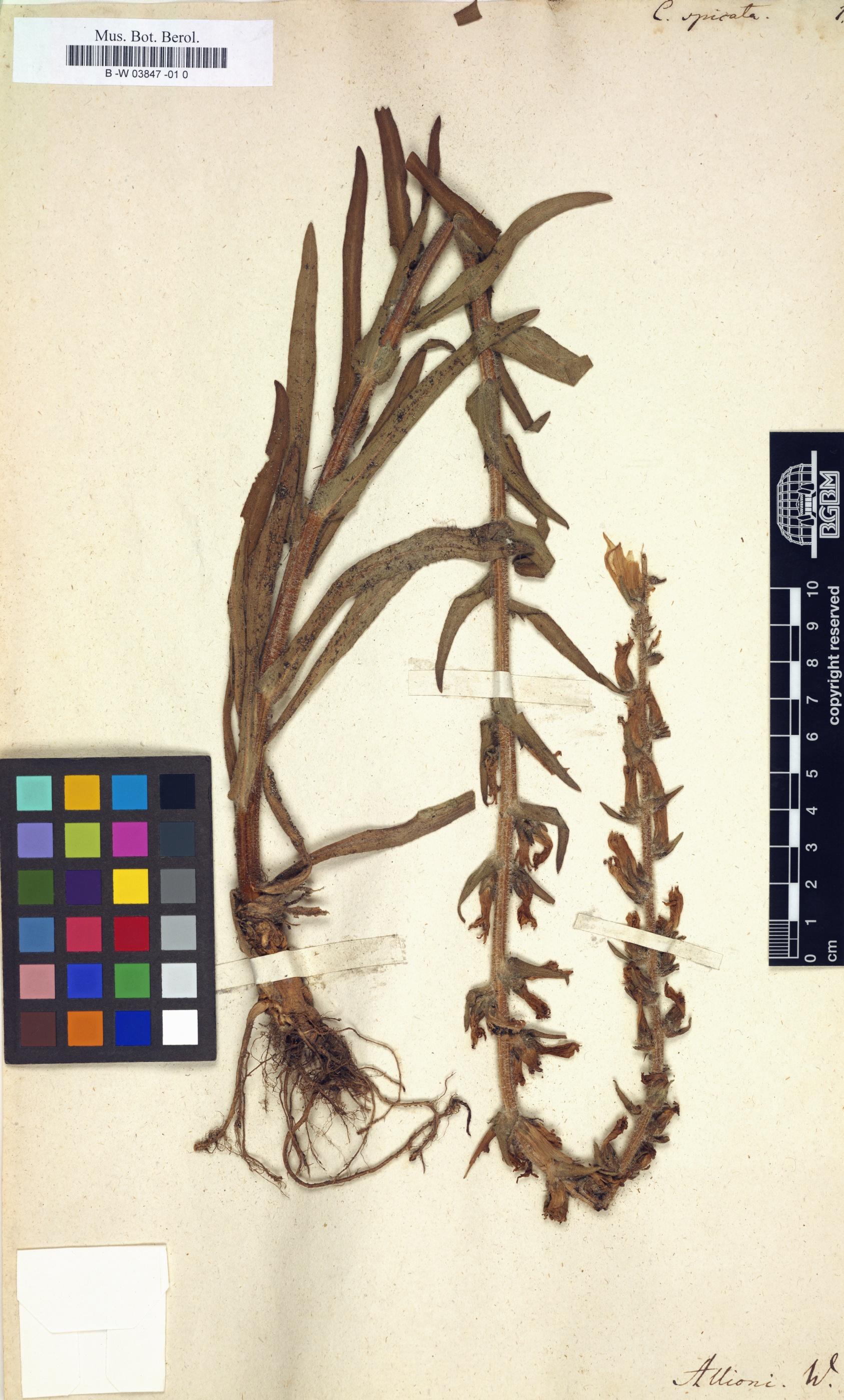 http://ww2.bgbm.org/herbarium/images/B/-W/03/84/B_-W_03847%20-01%200.jpg