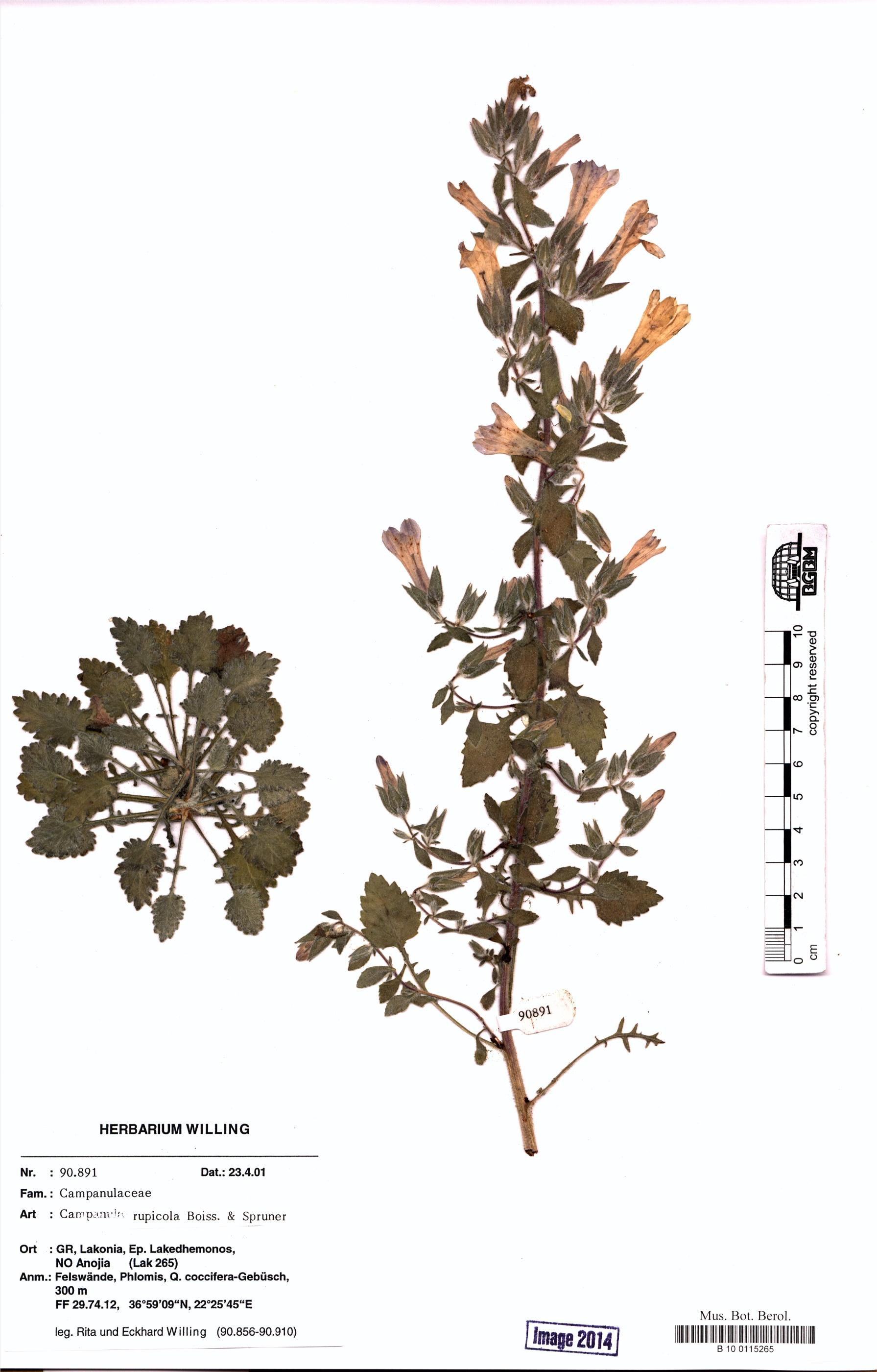 http://ww2.bgbm.org/herbarium/images/B/10/01/15/26/B_10_0115265.jpg