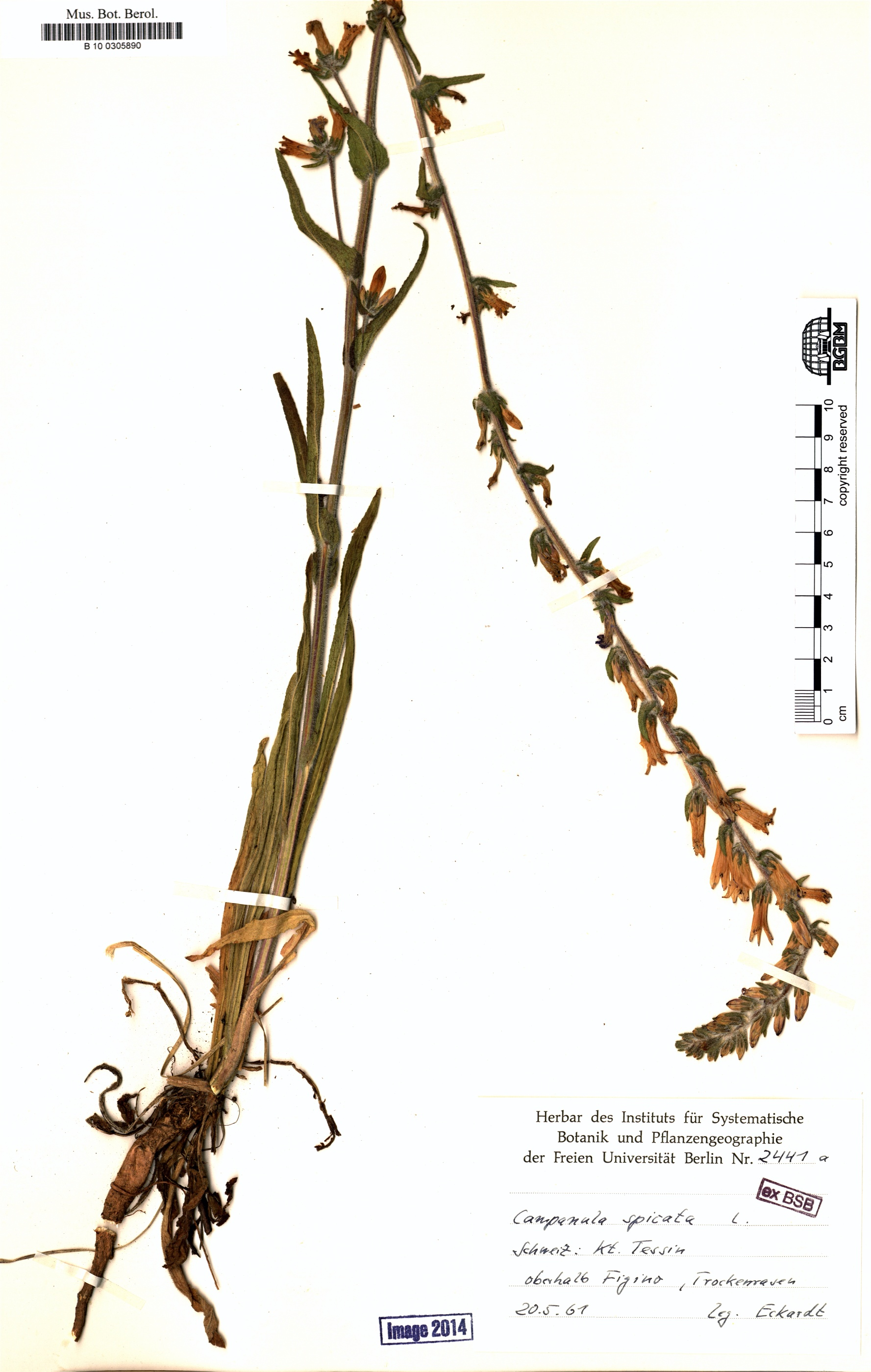 http://ww2.bgbm.org/herbarium/images/B/10/03/05/89/B_10_0305890.jpg