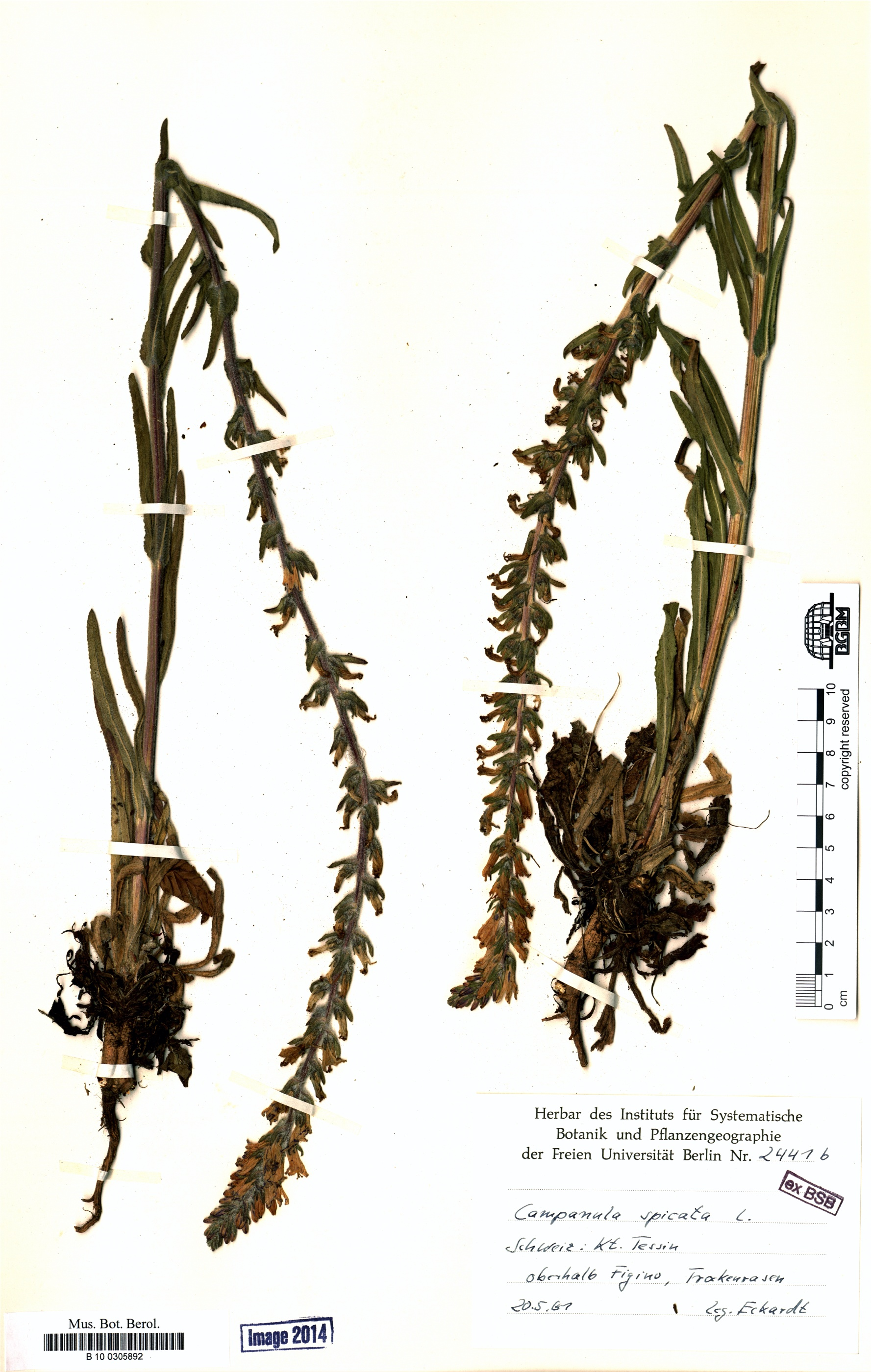 http://ww2.bgbm.org/herbarium/images/B/10/03/05/89/B_10_0305892.jpg