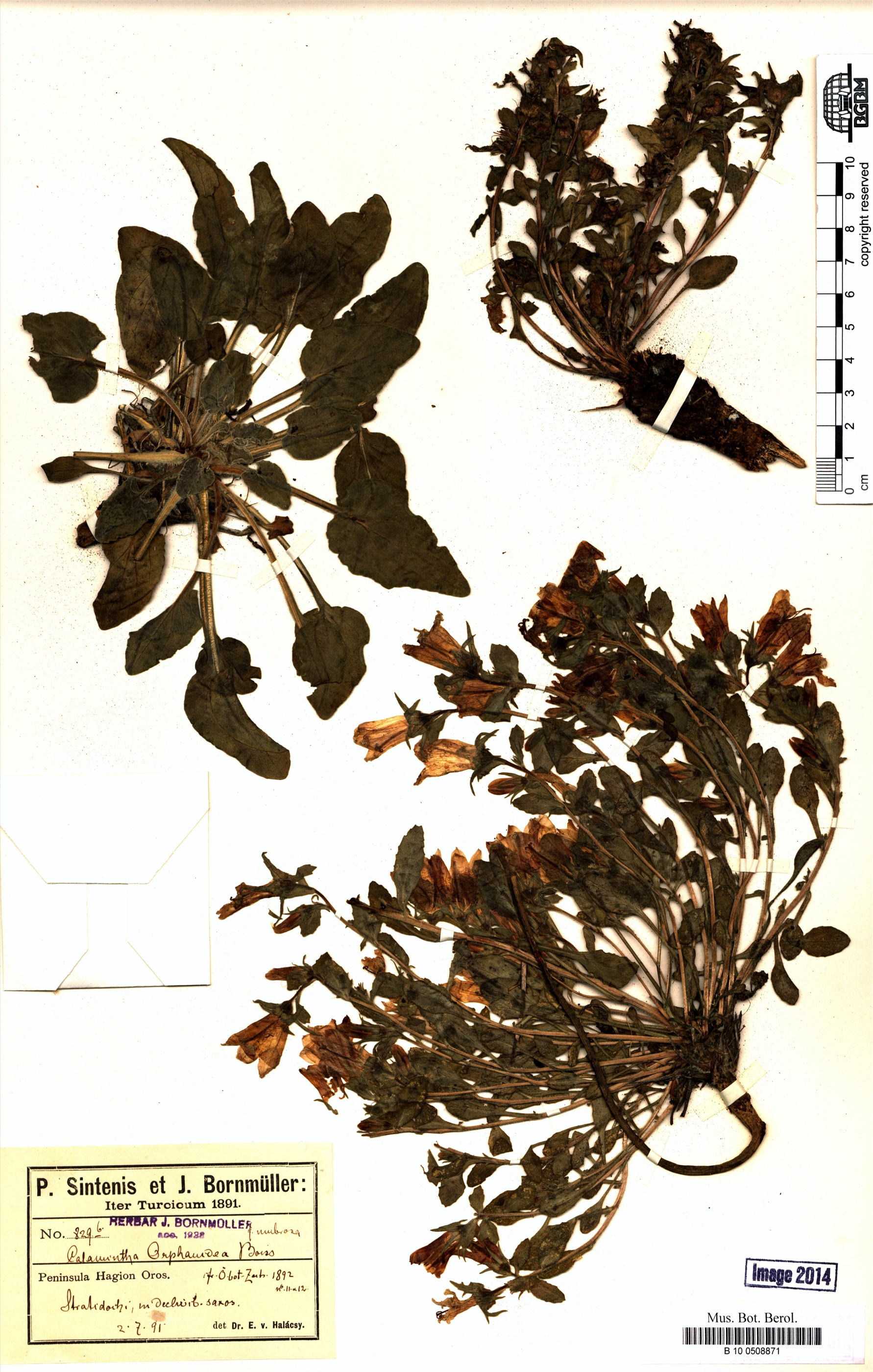 http://ww2.bgbm.org/herbarium/images/B/10/05/08/87/B_10_0508871.jpg