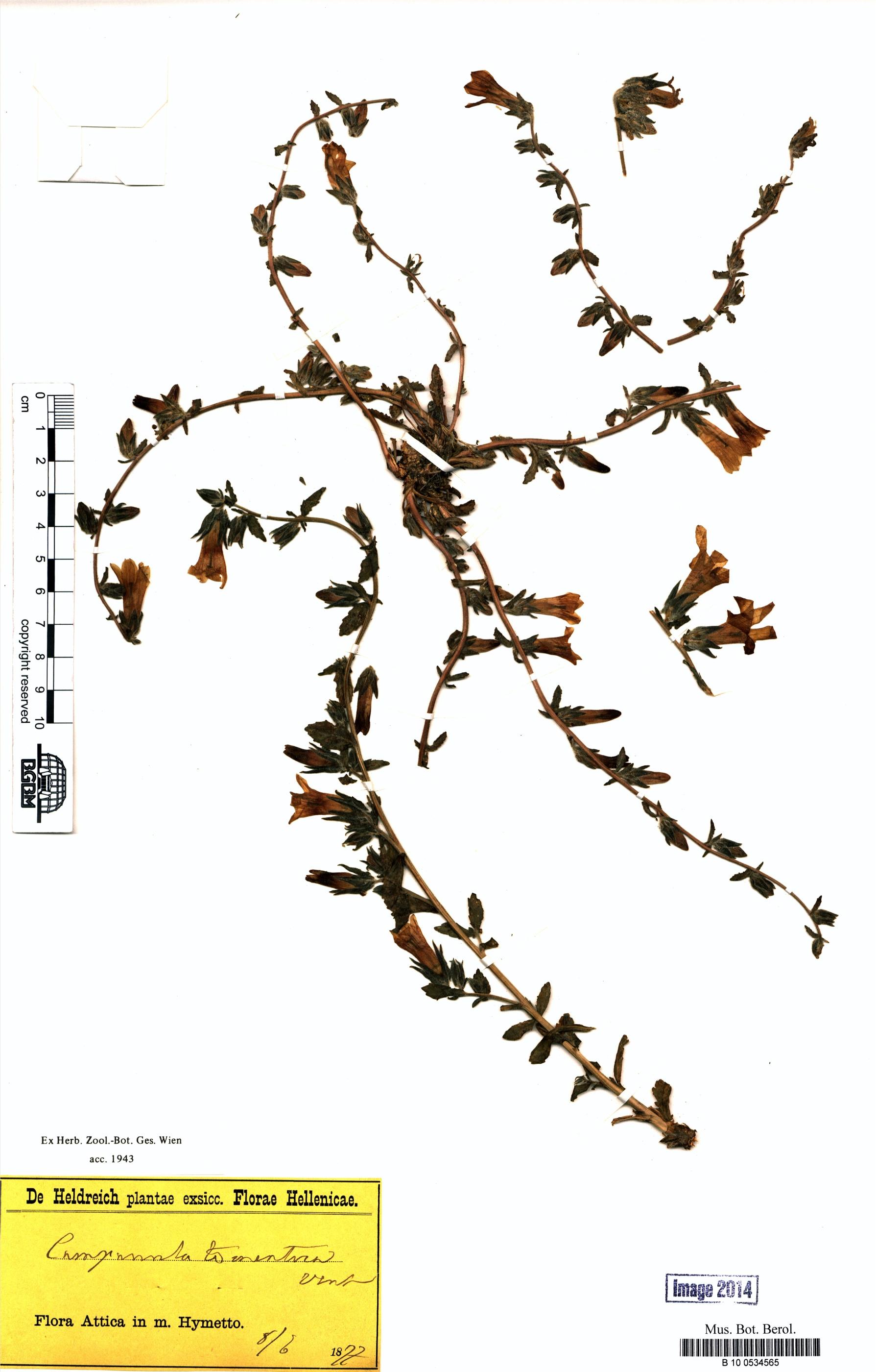 http://ww2.bgbm.org/herbarium/images/B/10/05/34/56/B_10_0534565.jpg