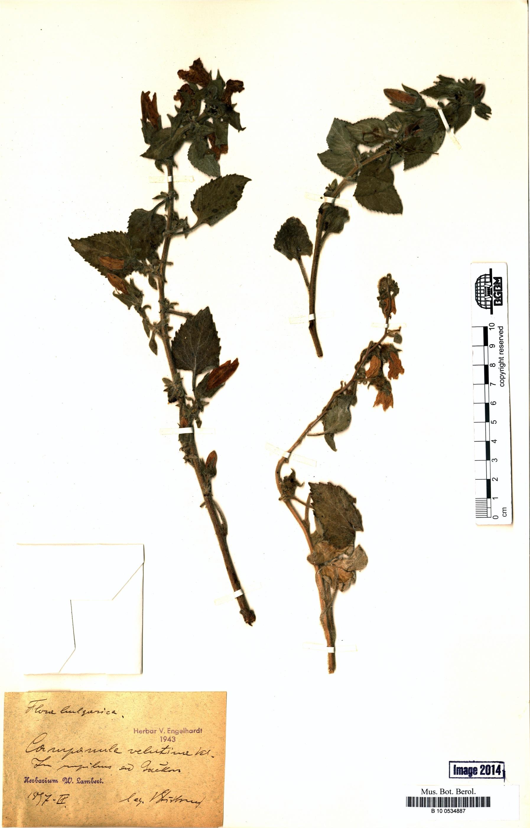 http://ww2.bgbm.org/herbarium/images/B/10/05/34/88/B_10_0534887.jpg