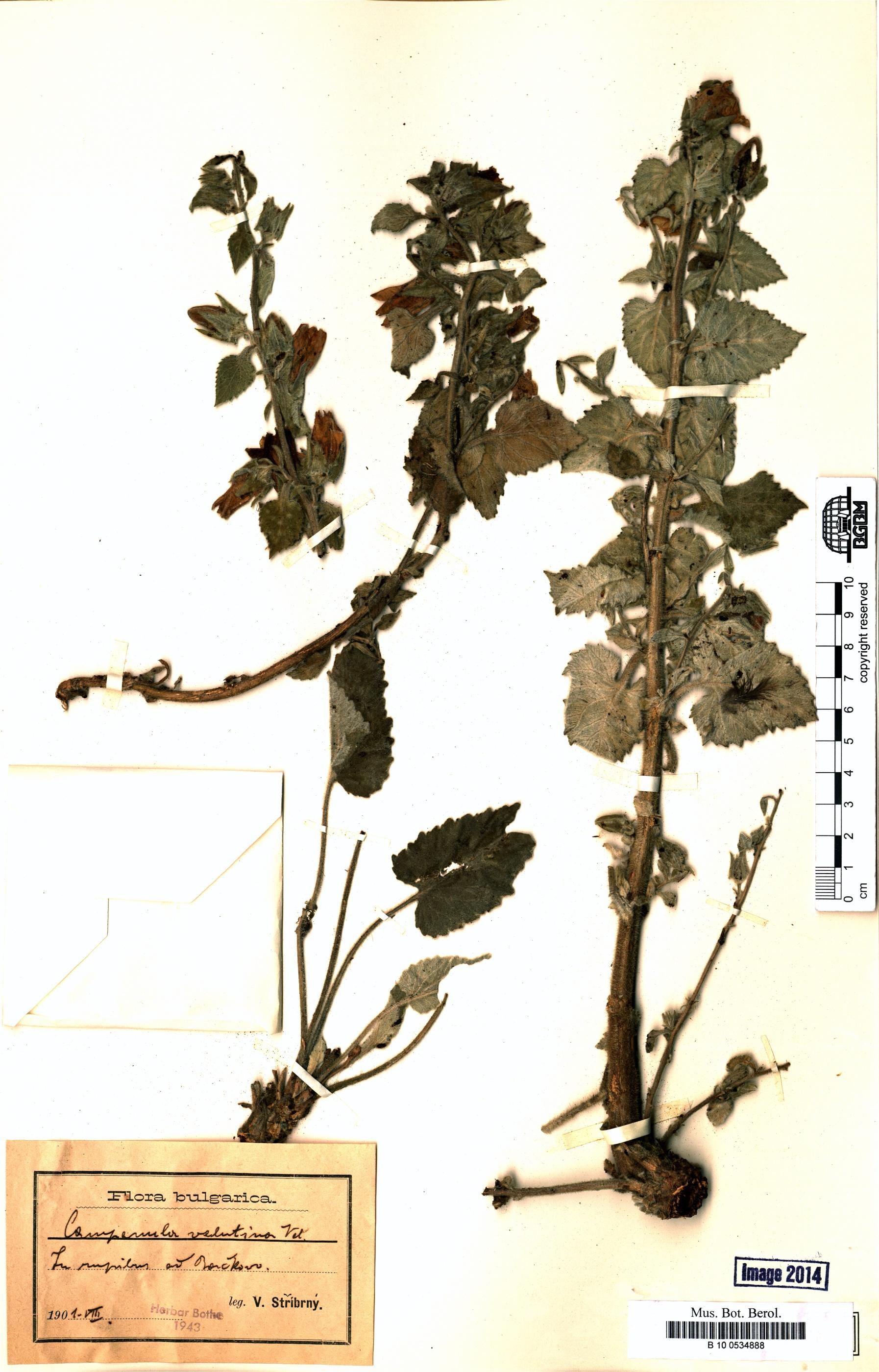 http://ww2.bgbm.org/herbarium/images/B/10/05/34/88/B_10_0534888.jpg