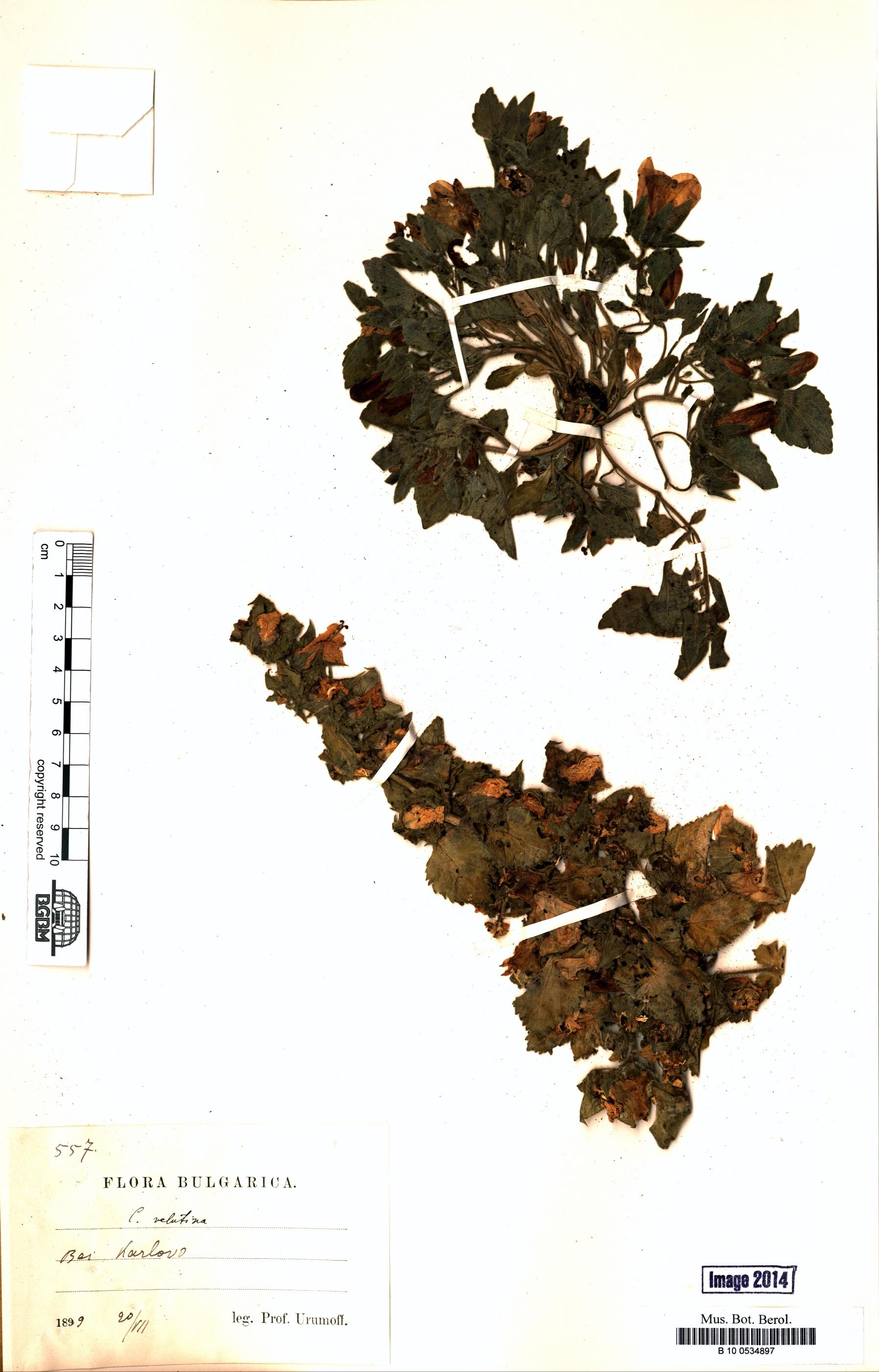 http://ww2.bgbm.org/herbarium/images/B/10/05/34/89/B_10_0534897.jpg
