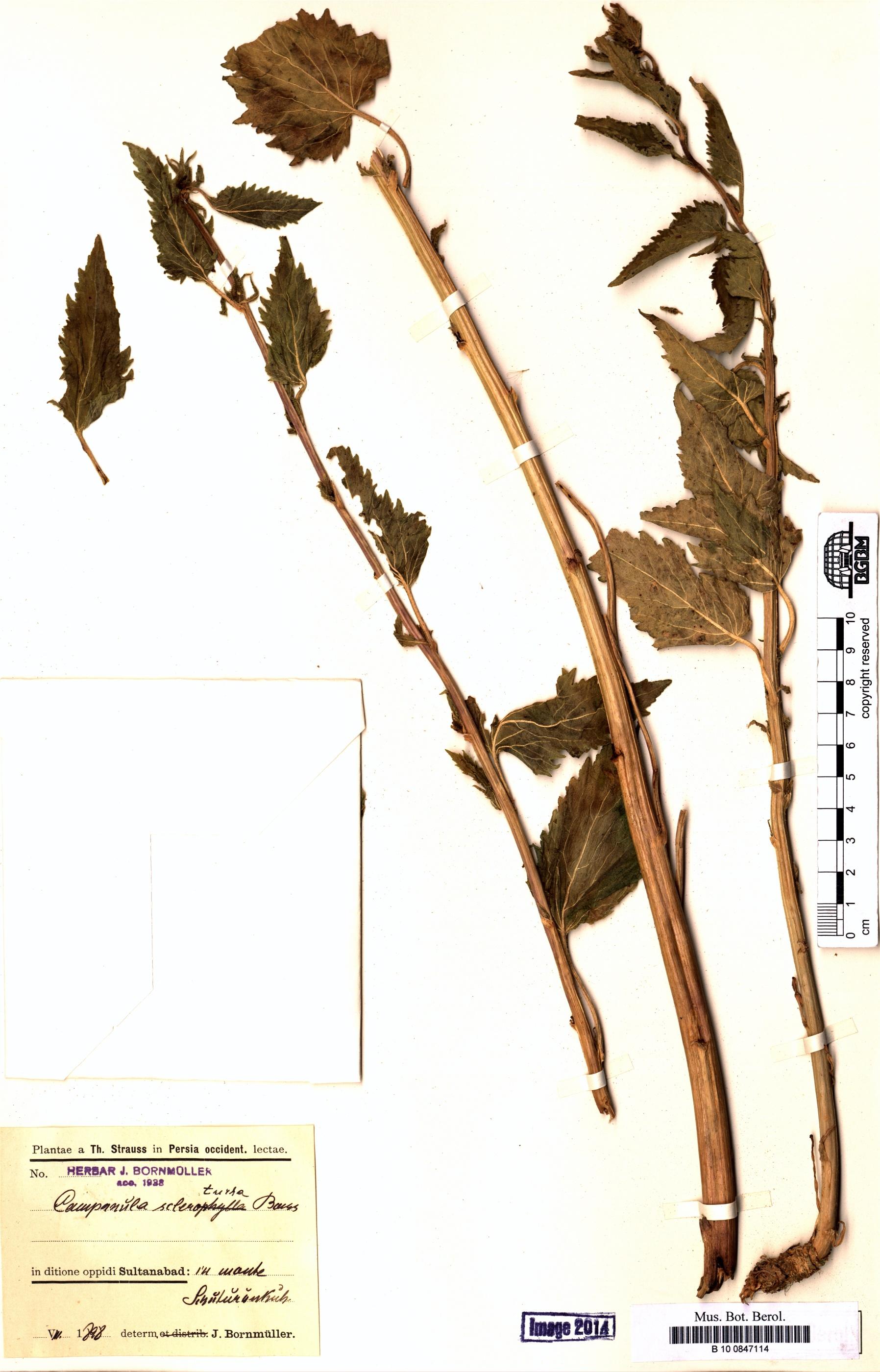 http://ww2.bgbm.org/herbarium/images/B/10/08/47/11/B_10_0847114.jpg