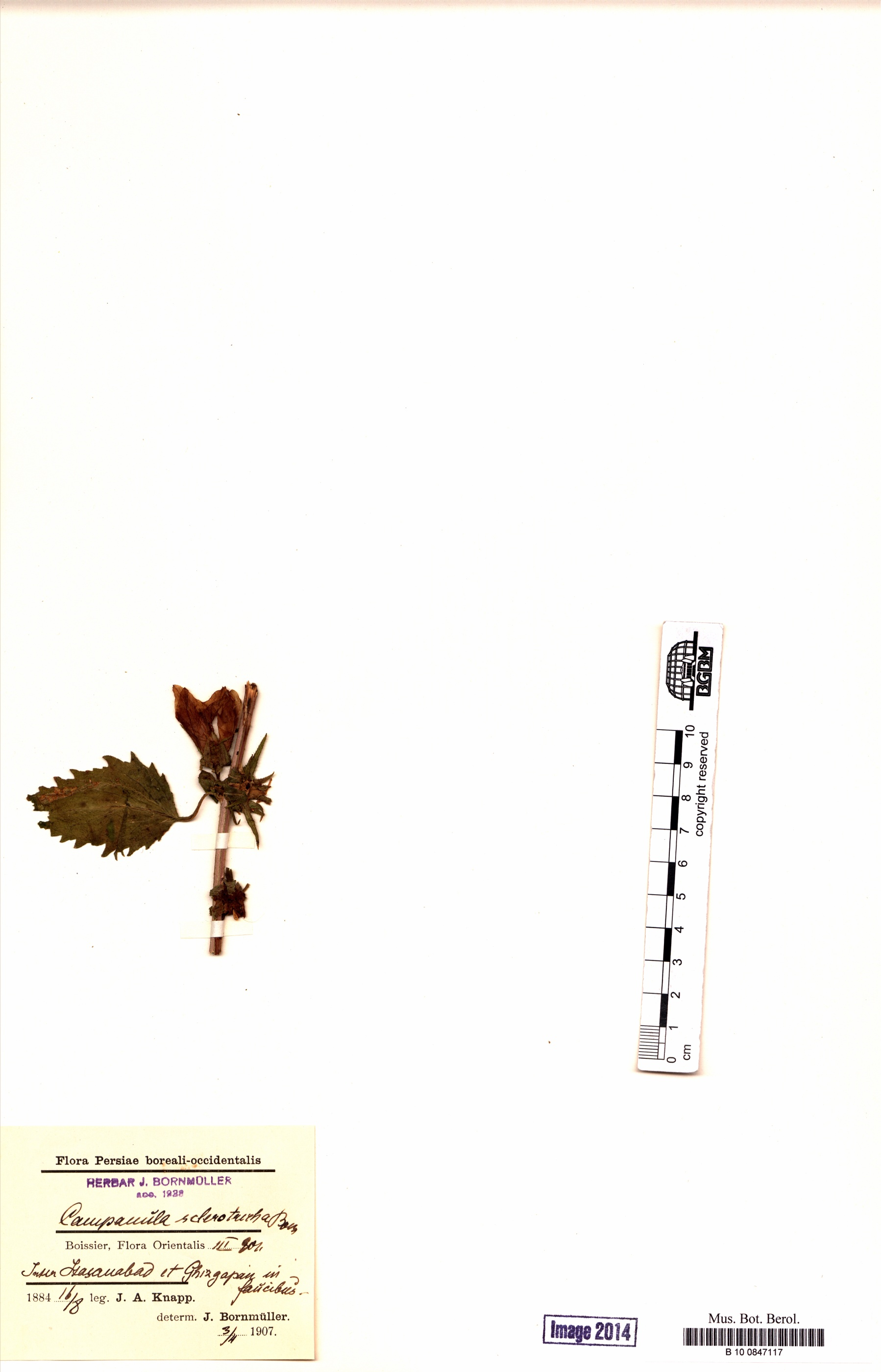 http://ww2.bgbm.org/herbarium/images/B/10/08/47/11/B_10_0847117.jpg