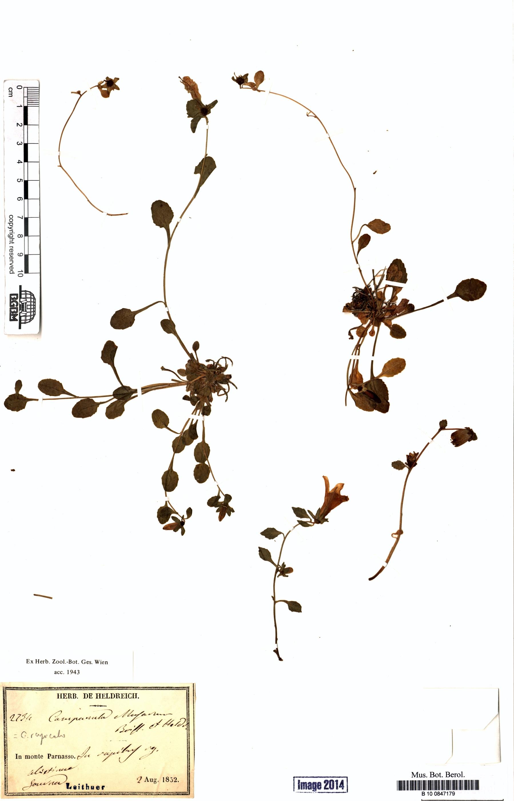 http://ww2.bgbm.org/herbarium/images/B/10/08/47/17/B_10_0847179.jpg