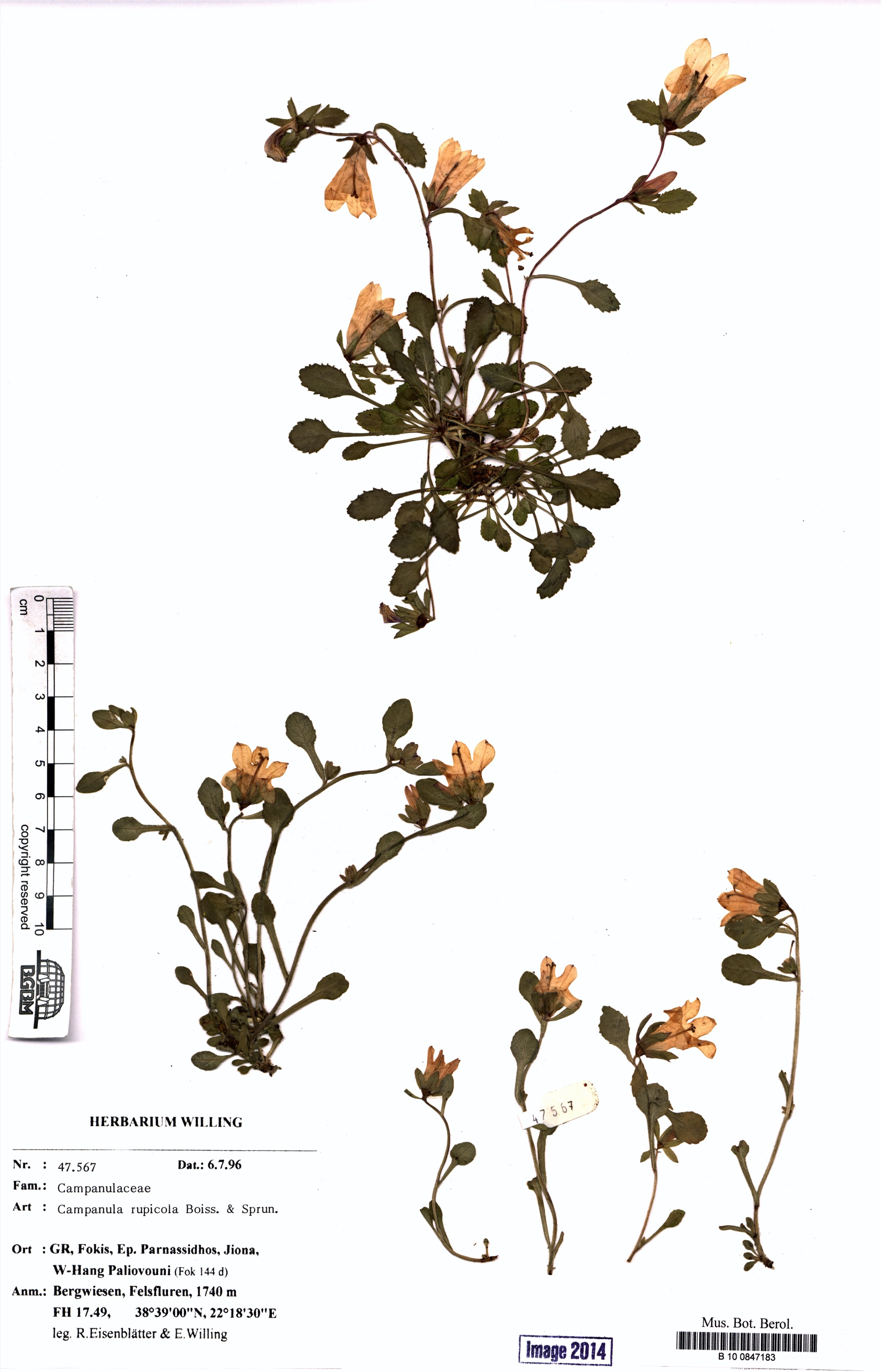 http://ww2.bgbm.org/herbarium/images/B/10/08/47/18/B_10_0847183.jpg
