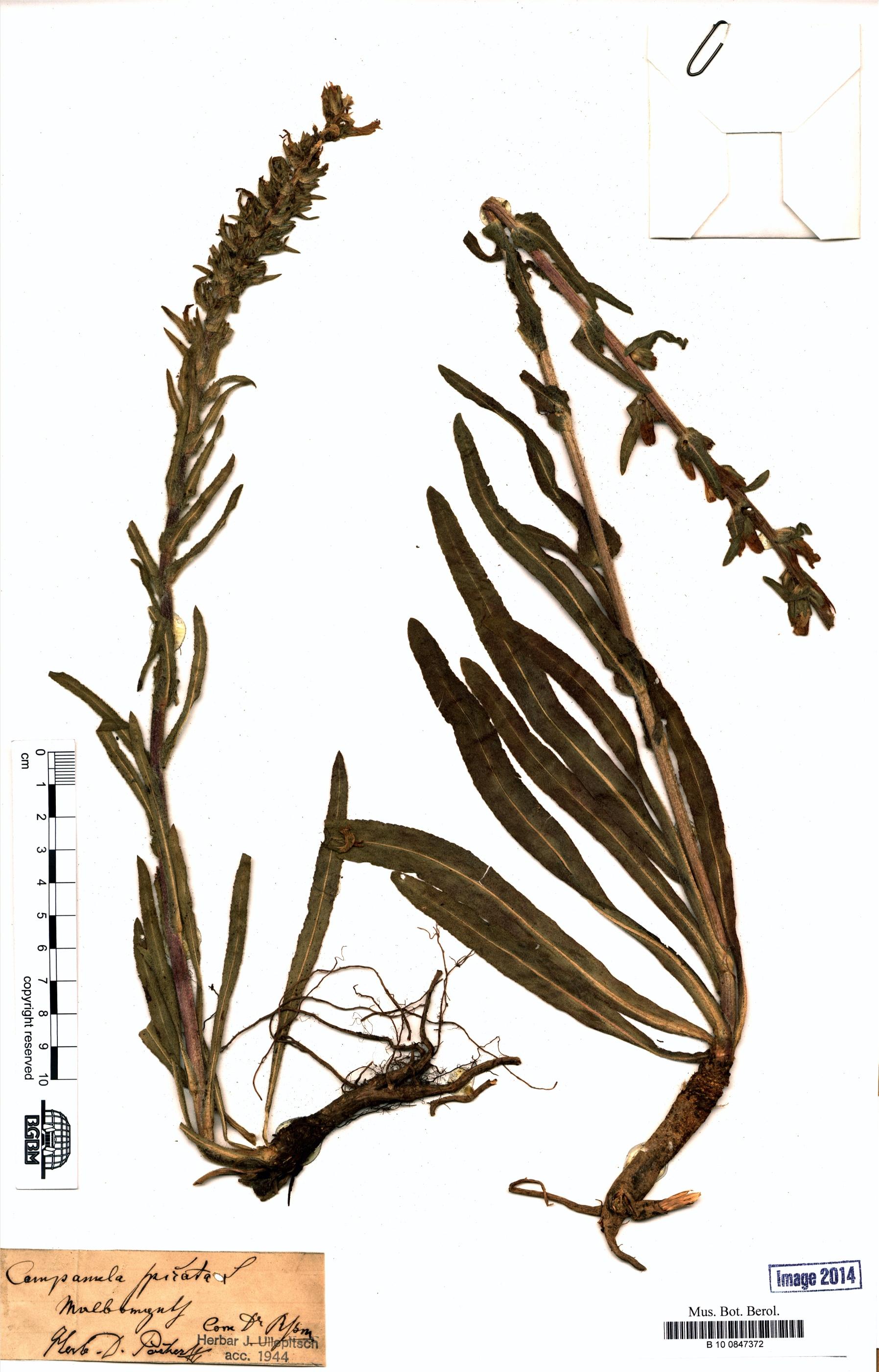 http://ww2.bgbm.org/herbarium/images/B/10/08/47/37/B_10_0847372.jpg