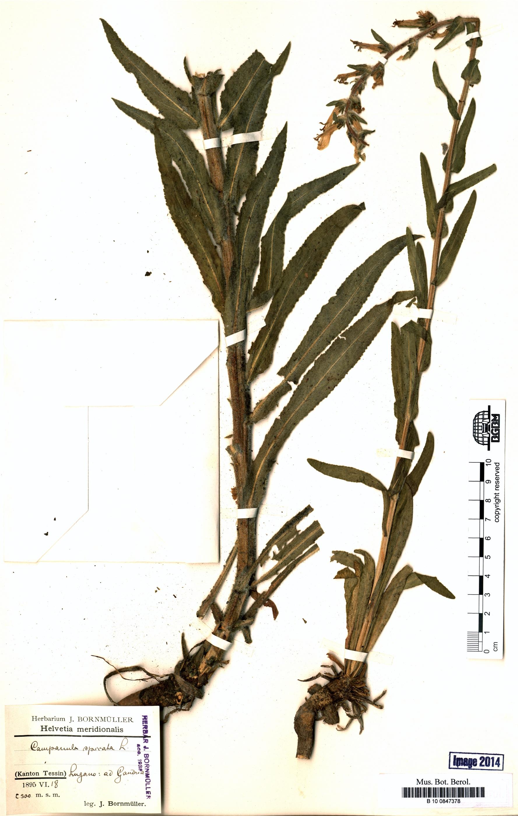 http://ww2.bgbm.org/herbarium/images/B/10/08/47/37/B_10_0847378.jpg