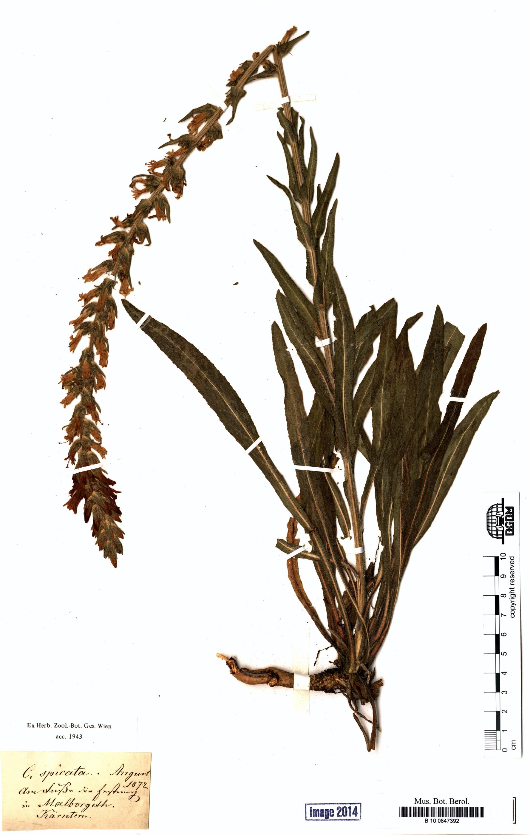 http://ww2.bgbm.org/herbarium/images/B/10/08/47/39/B_10_0847392.jpg